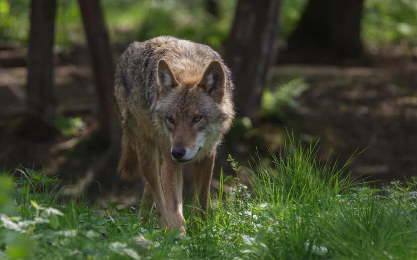 Spezielle Festzäune sollen Wölfe abwehren