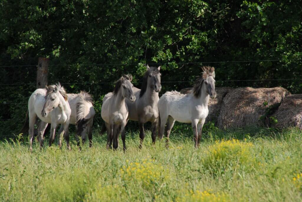 Robuste Pferderassen können auf extensiven Weiden gehalten werden